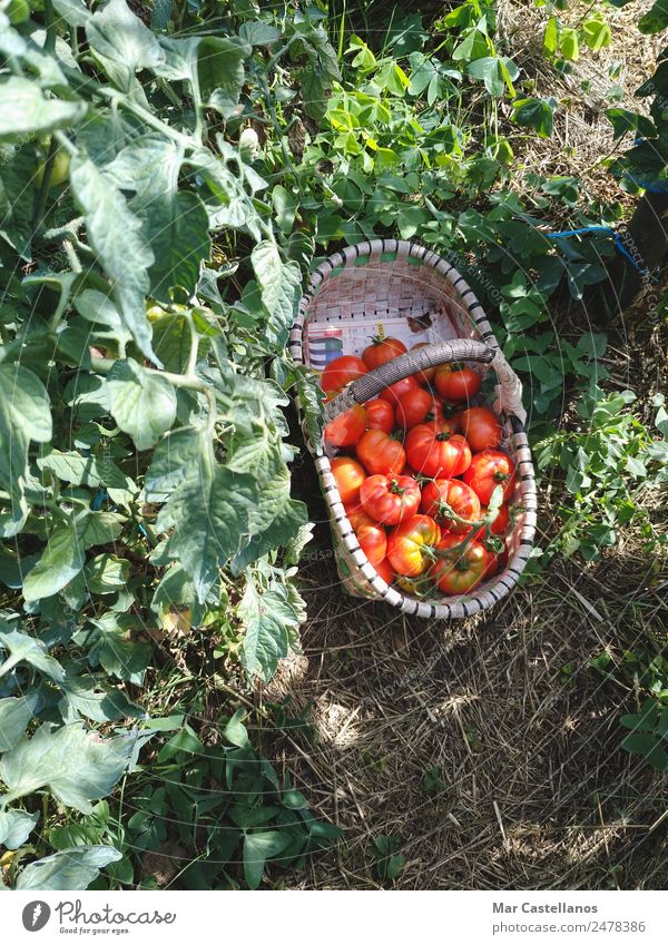 Harvesting Tomatoes in the Orchard Vegetable Fruit Nutrition Vegetarian diet Summer Sun Plant Leaf Agricultural crop Village Diet Feeding Sell Natural Green Red