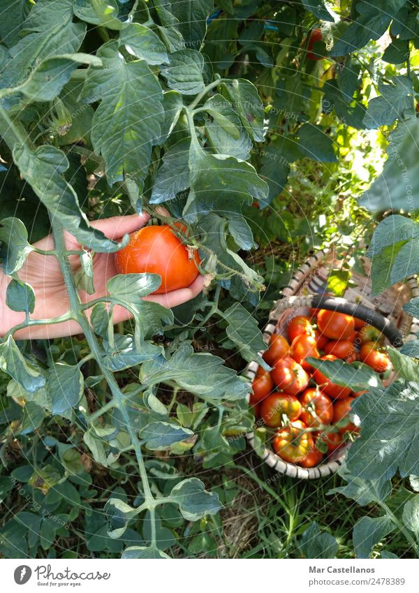 Harvesting Tomatoes in the Orchard Vegetable Fruit Nutrition Vegetarian diet Summer Sun Masculine Hand 1 Human being Plant Agricultural crop Village Sell