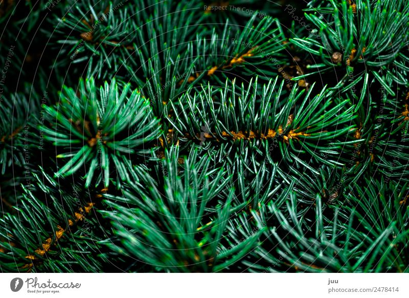 Plant Green Forest Dark Gold Glittering Point Fir tree Thorny Foliage plant Fir needle Fir branch