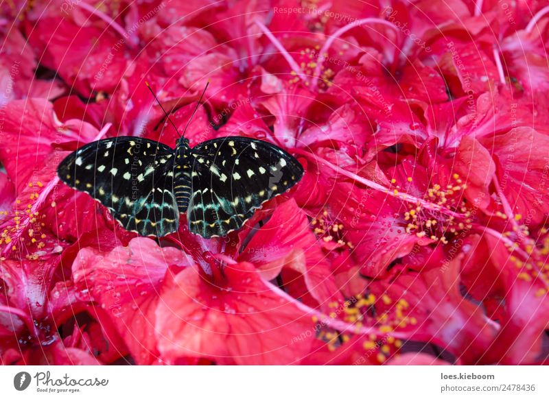 Black and white butterfly sitting in hibiscus blossoms Summer Nature Plant Exotic Park Butterfly Yellow Pink Hibiscus flower antenna black insect red animal