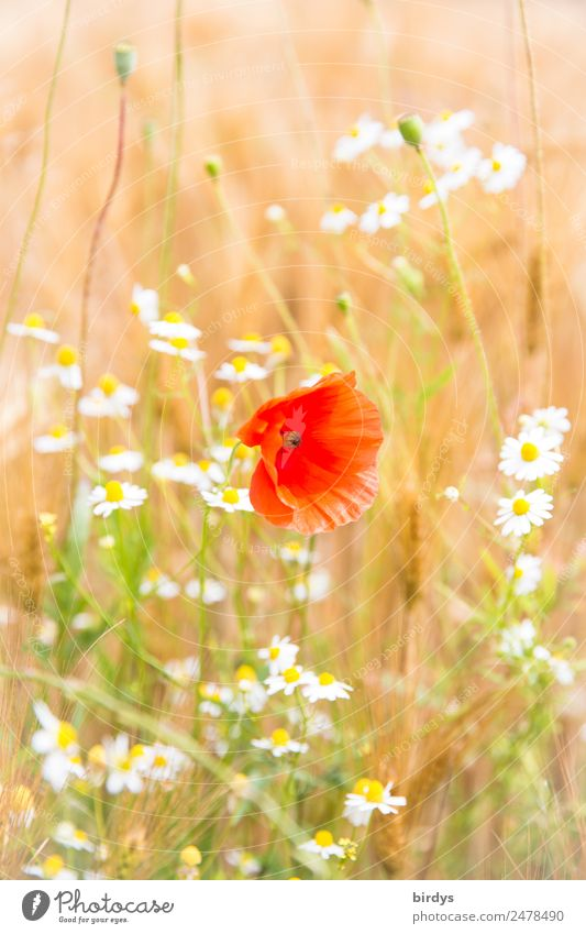 Mixed culture Plant Summer Beautiful weather Flower Agricultural crop Poppy blossom Chamomile Camomile blossom Grain field Field Blossoming Fragrance Authentic