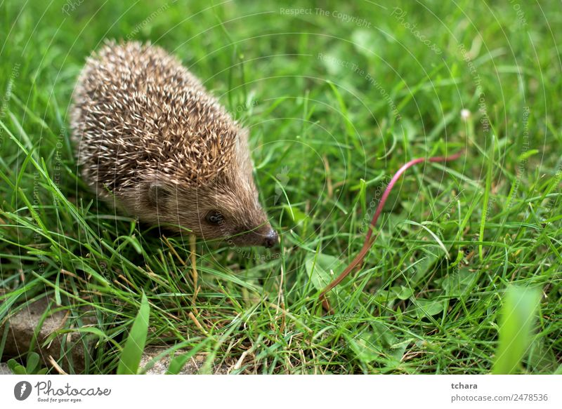 Small hedgehog Garden Adults Nature Landscape Animal Autumn Grass Moss Meadow Forest Sleep Natural Cute Thorny Wild Green Protection Colour Hedgehog background