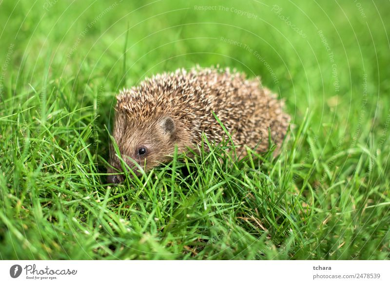 Hedge Garden Adults Nature Landscape Animal Autumn Grass Moss Meadow Forest Small Natural Cute Thorny Wild Green Protection Colour Hedgehog background europaeus
