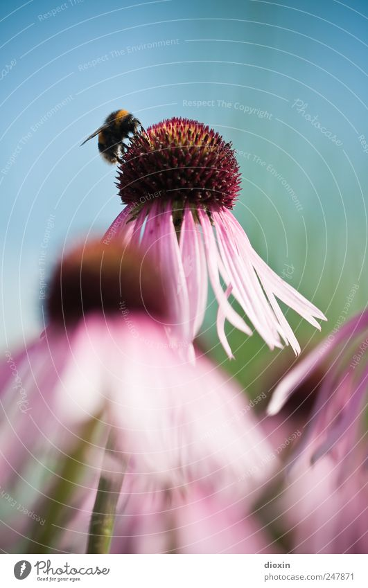 Echinacea purpurea N°3 Environment Nature Plant Animal Flower Blossom Purple cone flower Medicinal plant Wing Bumble bee Insect Natural Beautiful Blue Green