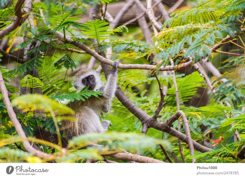 Vervet monkey sitting on a wall in the savannah Animal Forest Sit Africa Amboseli Kenya africain Apes background Long-tailed monkey Living thing gazing guenons