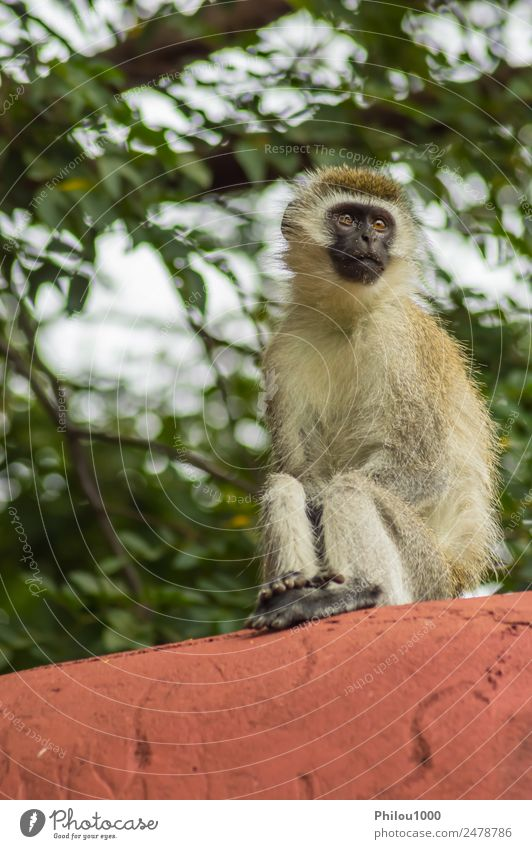 Vervet monkey sitting on a wall in the savannah Animal Garden Rock Sit Africa Amboseli Kenya africain Apes background Long-tailed monkey Living thing gazing