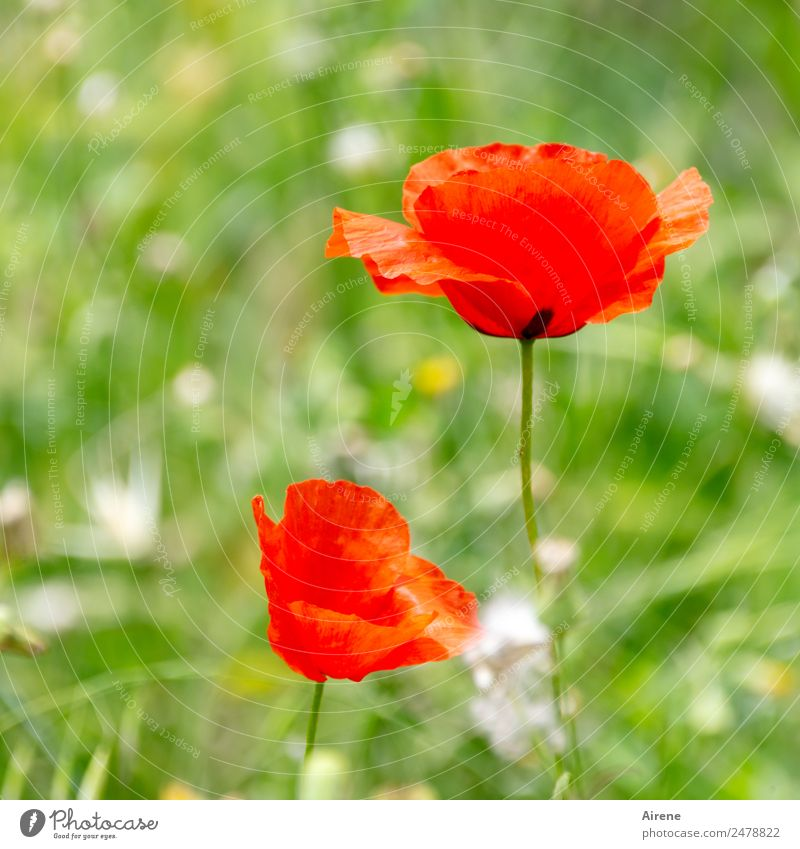 Nature Plant Beautiful Colour Green Flower Red Natural Meadow Growth Joie de vivre (Vitality) Blossoming Corn poppy Poppy blossom