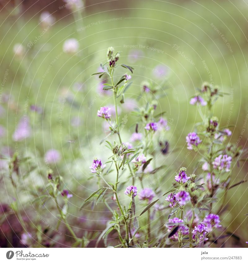 meadow Environment Nature Plant Flower Foliage plant Wild plant Meadow Esthetic Natural Beautiful Green Violet Colour photo Exterior shot Deserted Day