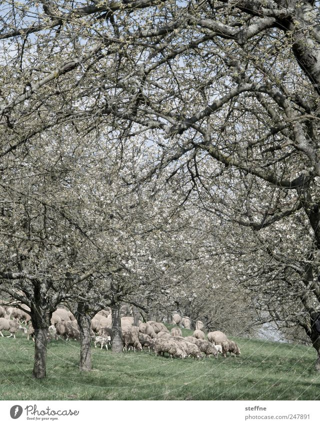 Tree Meadow Spring Blossoming Sheep Beautiful weather To feed Herd Farm animal Baaa