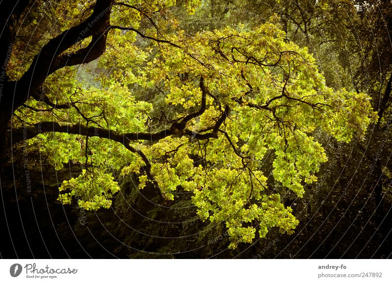 branches Nature Plant Tree Yellow Green Branchage Yellowness Autumn Autumnal Deciduous tree Twigs and branches Oak tree Colour photo Subdued colour