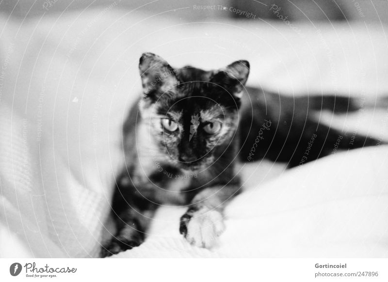 huntress Animal Pet Cat Animal face Pelt Paw 1 Calm Lie Relaxation Cat's head Cat's ears Dappled tortoiseshell Black & white photo Interior shot Copy Space left