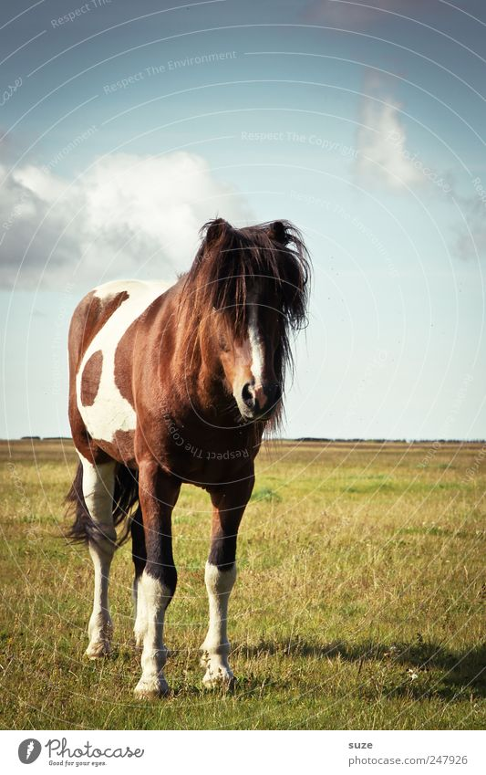 Sky Nature Summer Animal Meadow Landscape Environment Funny Climate Horse Stand Wild animal Friendliness Iceland Pasture Beautiful weather