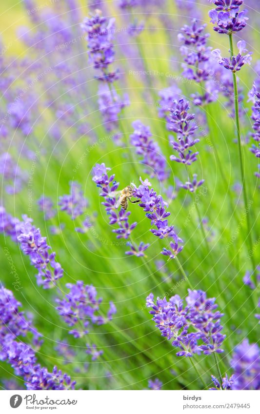 Lavender honey production Plant Animal Summer Beautiful weather Blossom Agricultural crop Lavender field lavender flowers Field Farm animal Bee 1 Blossoming