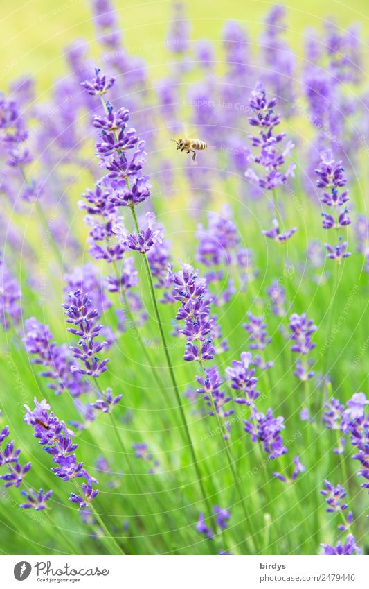harvesters Summer Beautiful weather Blossom Agricultural crop Lavender Bee 1 Animal Blossoming Fragrance Flying Authentic Fresh Positive Yellow Green Violet