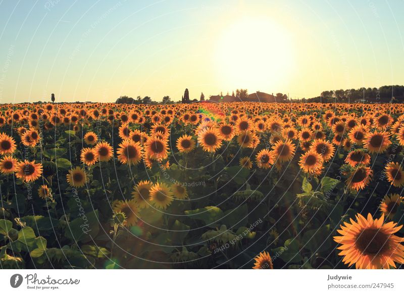 Nature Beautiful Plant Summer Far-off places Yellow Landscape Environment Happy Field Growth Natural Kitsch Idyll Joie de vivre (Vitality) Sunflower