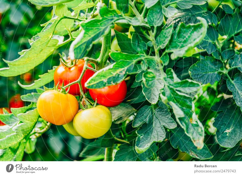 Tomatoes Growing On Vine In Greenhouse Cherry Food Background picture Red Healthy Organic Raw Close-up Small Vegetable Ingredients Vegetarian diet Fresh Mature