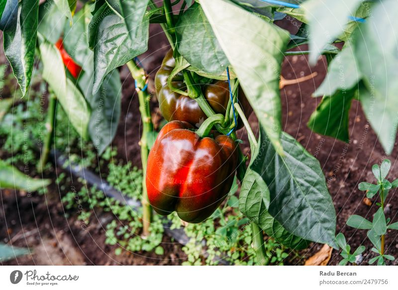 Bell Peppers Capsicum Growing In Greenhouse Growth Farm Plant Sweet paprika Nature Red Agriculture Healthy Organic Food Garden Vegetable Fresh Mature peppers