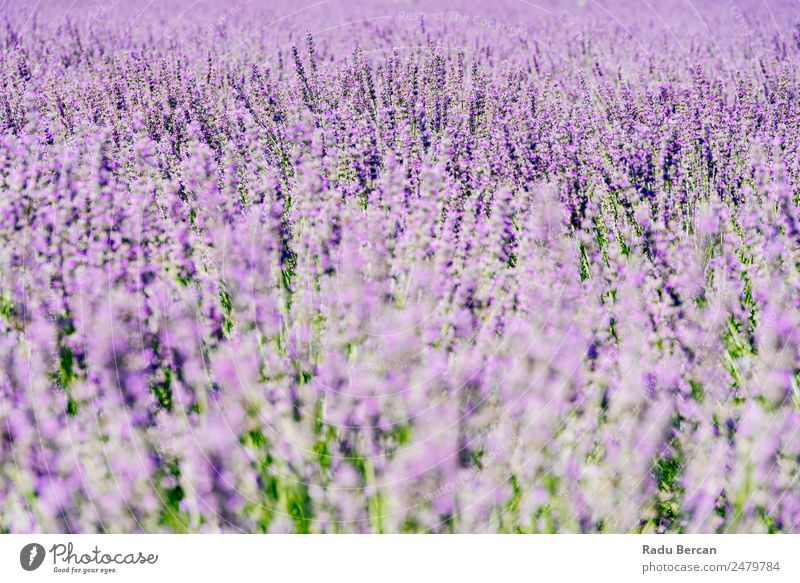 Purple Lavender Field In Summer Provence Flower Violet Beautiful Landscape Nature Background picture Blooming Aromatic Beauty Photography Sunlight Plant Blue