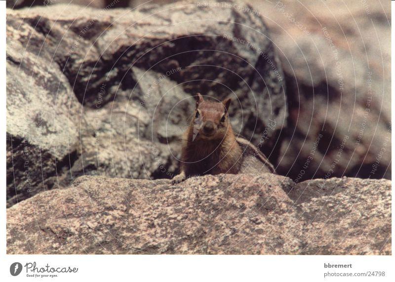 Nature Stone Curiosity Squirrel