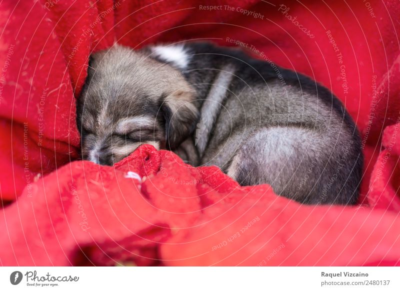A beautiful dog puppy curled up in red cloth Animal Pet Dog 1 Baby animal Lie Sleep Brown Red Safety (feeling of) Love of animals Self Control Dream Peace