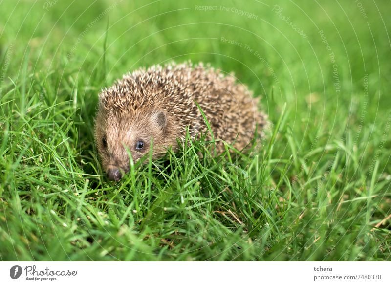 Small hedgehog in a garden, looking at camera Garden Adults Nature Landscape Animal Autumn Grass Moss Meadow Forest Natural Cute Thorny Wild Green Protection