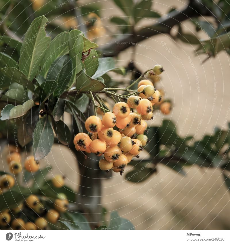 yellow berries Berries Orange Yellow Leaf Bushes Tree Fruit Branch Close-up Rawanberry Vitamin Poison