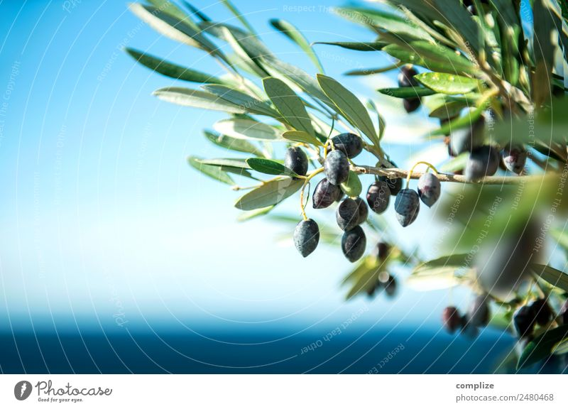 Olive branch at the sea in Greece Food Fruit Cooking oil Nutrition Organic produce Italian Food Style Beautiful Healthy Healthy Eating Vacation & Travel Summer