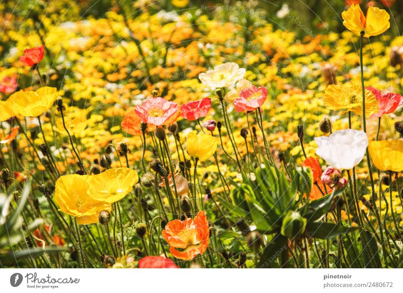 poppy meadow Summer Nature Plant Sunlight Beautiful weather Blossom Wild plant Meadow Alps Blossoming Yellow Background picture Corn poppy Poppy blossom
