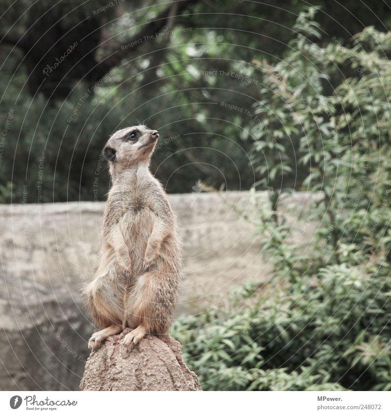 Animal Sit Rock Sweet Wild animal Soft Observe Zoo Pelt Vantage point Fur coat Meerkat Fur-bearing animal