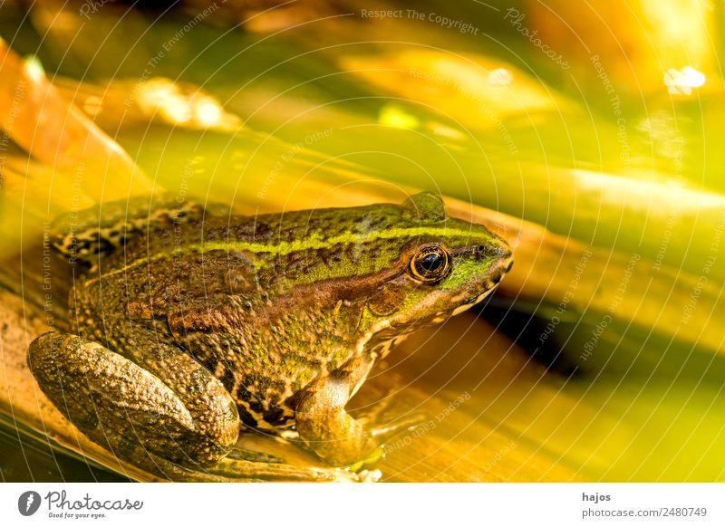 sea frog Nature Animal Wild animal Frog 1 Sit Amphibian fauna Germany sits Close-up Green Brown Colour photo Exterior shot Deserted Copy Space top