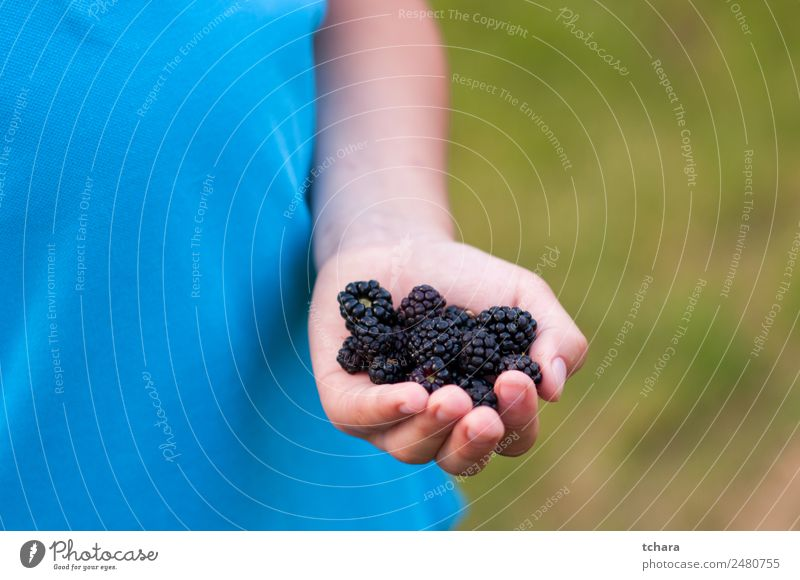 Ripe blackberries in hand Food Fruit Dessert Eating Breakfast Vegetarian diet Diet Hand Nature Fresh Delicious Natural Juicy Green Black Colour Blackberry close