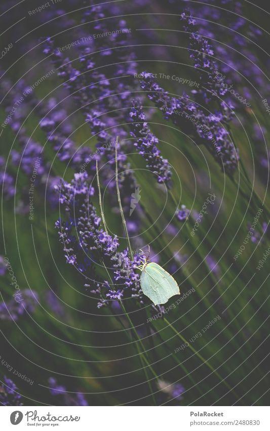 #A# Lavender flight Art Esthetic Butterfly Fabaceae Lavender field Lavande harvest Violet Wind Blow Blossoming Green pastures France Provence Colour photo