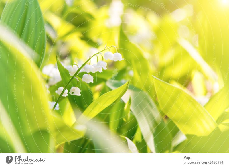 Wild white flowers lily of the valley Beautiful Summer Garden Environment Nature Landscape Plant Sky Sun Sunrise Sunset Sunlight Spring Flower Grass Leaf