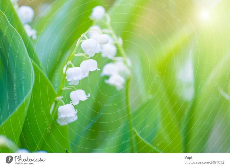 Wild white flowers lily of the valley Beautiful Fragrance Summer Sun Garden Environment Nature Landscape Plant Sunrise Sunset Sunlight Spring Flower Grass Leaf