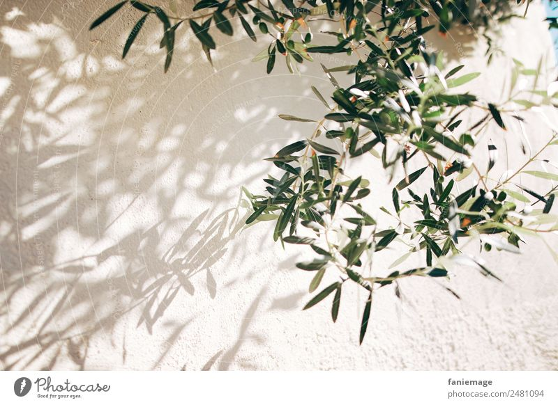 olive branches Environment Nature Wall (barrier) Wall (building) Esthetic Mediterranean Olive Olive tree Olive oil Olive leaf Shadow play Marseille Provence