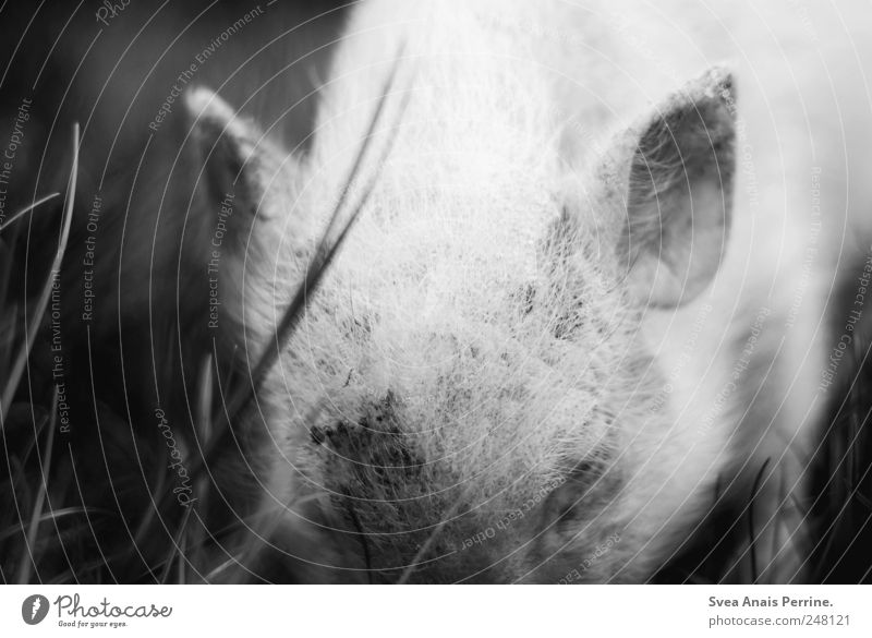 piggy. Meadow Animal Farm animal Zoo Swine Piglet 1 Dirty Emotions Bristles Black & white photo Exterior shot Deserted Light Shadow Contrast Animal portrait