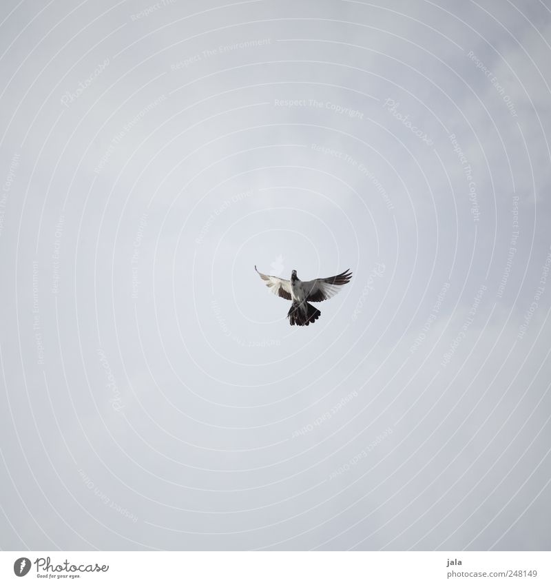 Sky White Blue Animal Gray Bird Flying Pigeon
