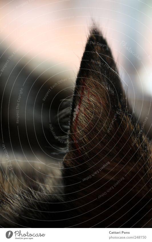 Animal Cat Lie Natural Ear Near Thin Pelt Listening Pet Cuddly Vessel Parts of body Sense of hearing