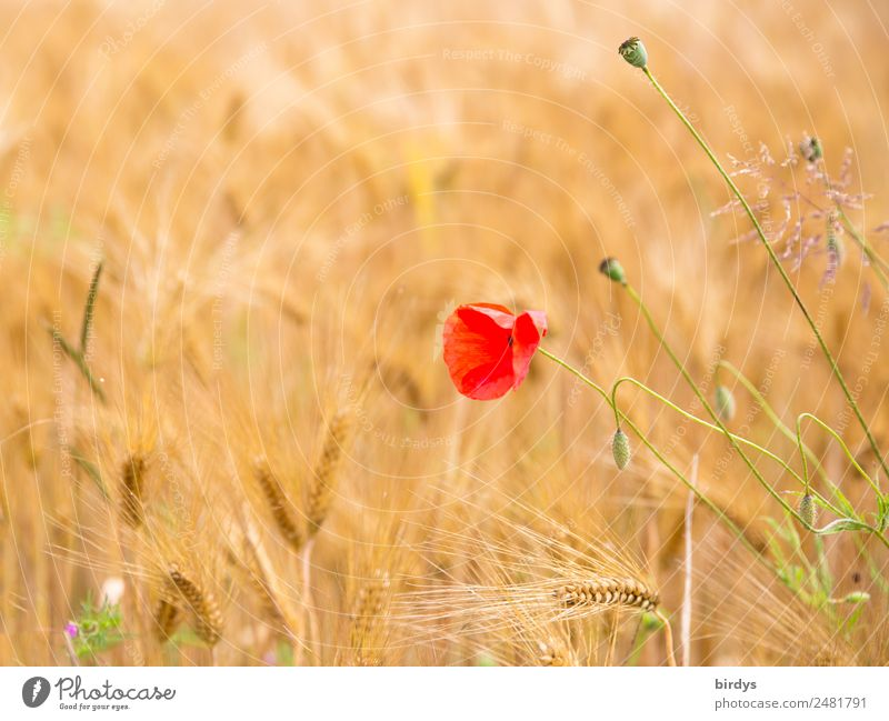 Poppy flower in a cereal field Agriculture Forestry Summer Beautiful weather Agricultural crop Poppy blossom Grain field Poppy capsule Field Blossoming