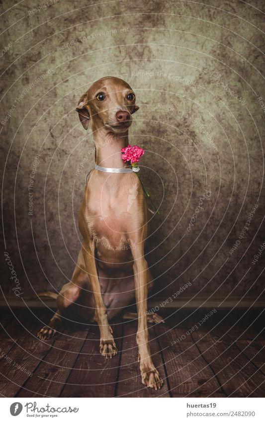 Studio portrait of little italian greyhound dog. Nature Dog Beautiful Animal Funny Happy Small Brown Friendship Happiness Cute Friendliness Pet Vertical