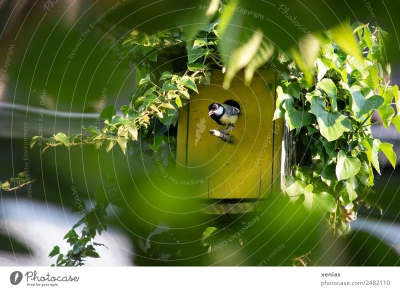 Great tit looks out of yellow birdhouse birds Tit mouse Animal spring Summer Ivy Garden Yellow green Black Birdhouse Chirping Exterior shot Nature