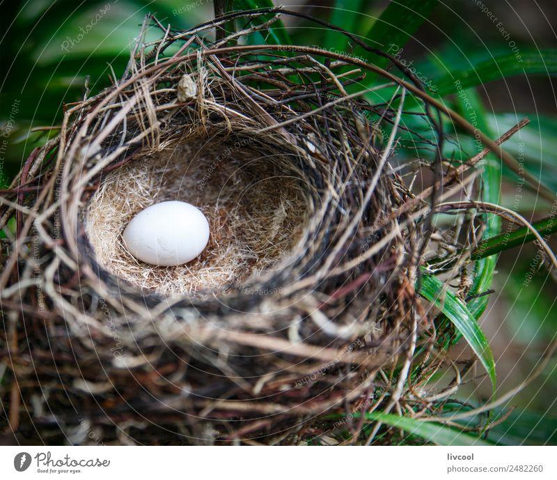 monarchidae nest, ambrym island-vanuatu Exotic Island Nature Plant Animal Tree Leaf Bird 1 Green Loneliness Nest new hebrides Pacific Ocean Australia + Oceania