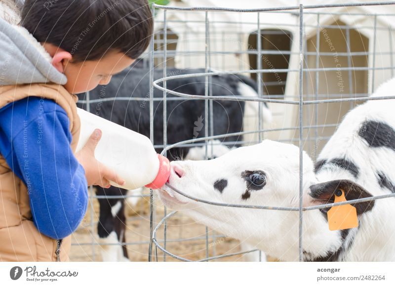 Little baby cow feeding from milk bottle. Child Human being Animal Boy (child) Masculine Baby Drinking Mammal Cow Bottle Animal face Farmer Horizontal Milk