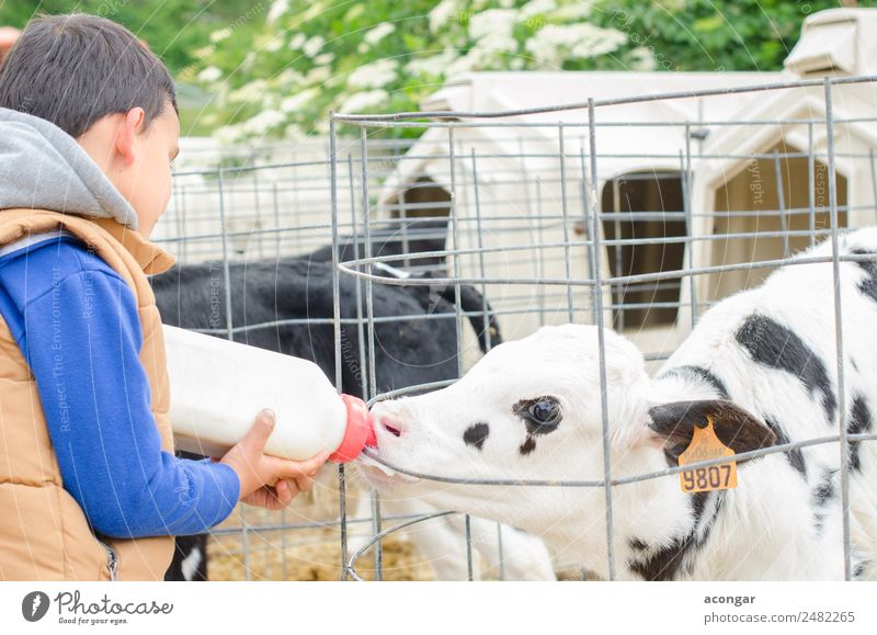 Little baby cow feeding from milk bottle. Bottle Child Baby Boy (child) Animal Farm animal Cow 1 Feeding agricultural agriculture calf Farmer Horizontal Mammal