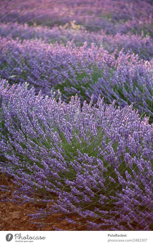 #A# Lavender sun Environment Nature Landscape Esthetic Lavender field Lavande harvest France Provence Violet Field Landscaping Blossoming Green pastures