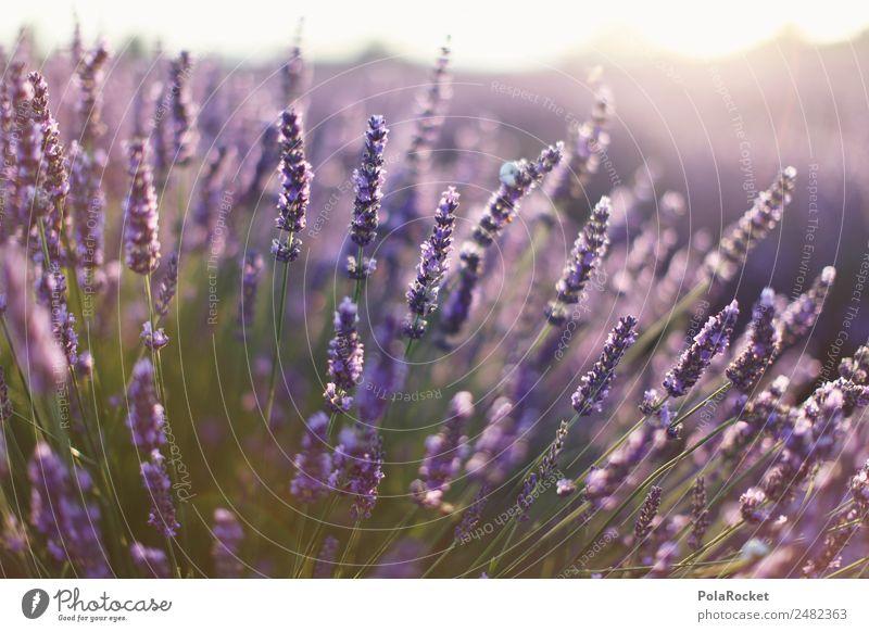 #A# Lavender Sun Environment Nature Landscape Plant Esthetic Lavender field Lavande harvest France Provence Violet Blossoming Green pastures Many Fragrance