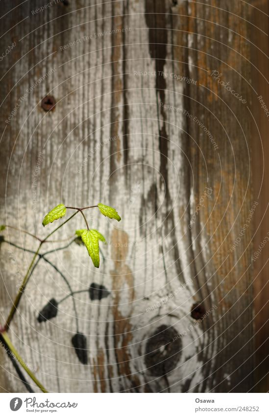 little plant Plant Leaf Green Twig Shoot Background picture Wood Wooden board Plank Fence Wood grain Knothole Shadow Drop shadow Small Delicate Fragile youthful