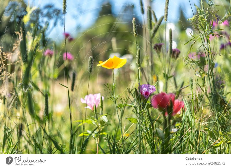 once upon a time Nature Plant Sky Summer Beautiful weather Flower Grass Leaf Blossom Wild plant Meadow flower Poppy blossom Grass blossom Garden Blossoming