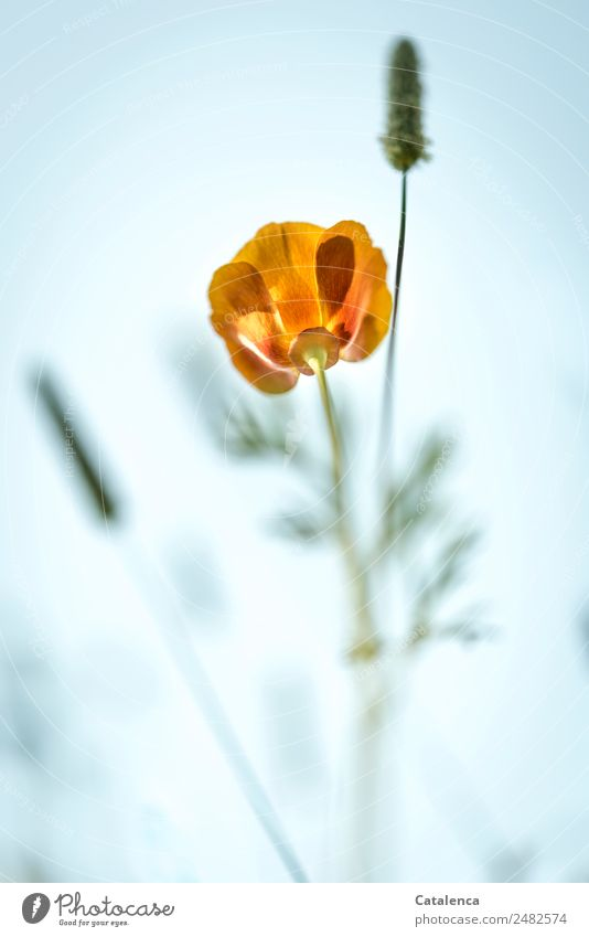 Poppy blossom from a frog's perspective Nature Plant Sky Summer Flower Grass Leaf Blossom Grass blossom Garden Meadow Blossoming Faded Beautiful Blue Green