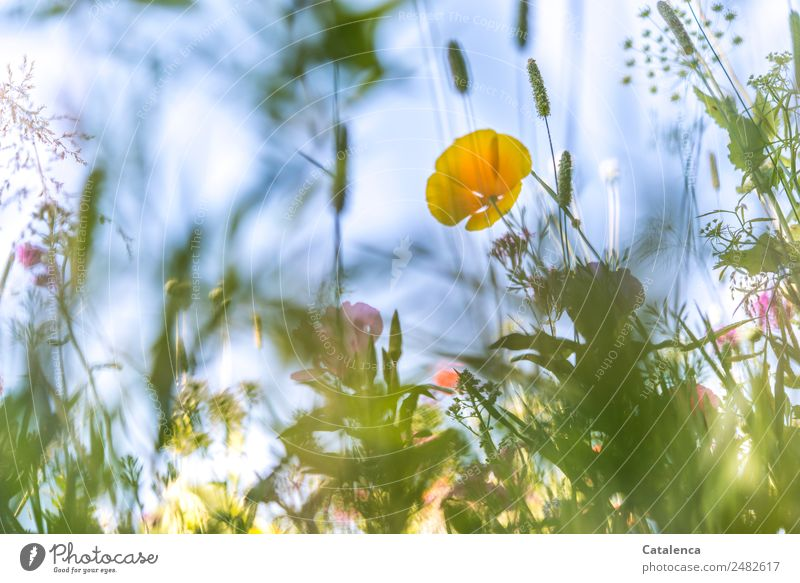 Yellow-blue Monday Nature Plant Sky Summer Beautiful weather Flower Grass Leaf Blossom Foliage plant Wild plant Grass blossom Poppy blossom Meadow flower Garden